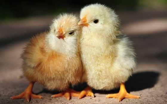 цыпочка, cute, курица
