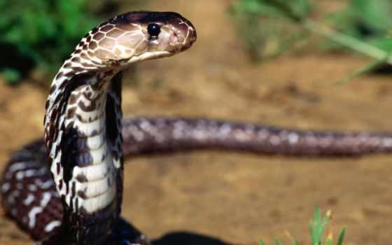 snake, нападает, животных, змеи, ласточка, змей, которых, обычно, состоянии,