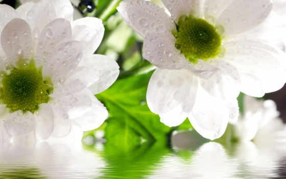 cvety, фотообои, white, купить, композиций, flowers, anita, главная, растения, наливные,