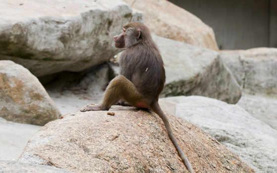 обезьяна, гамадрил, яndex