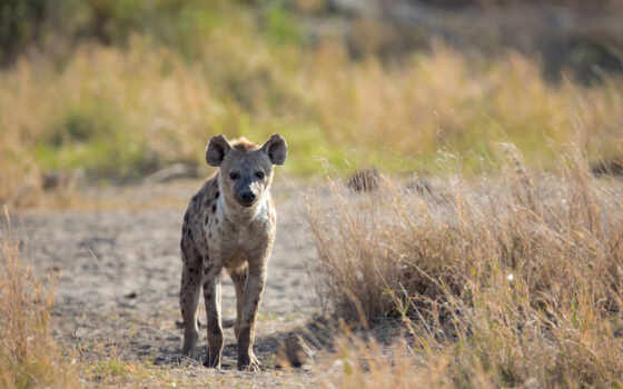 hyena, морда, хищник, animal, коллекция, взгляд, фокс, hyene