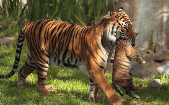 Тигрица с детенышем