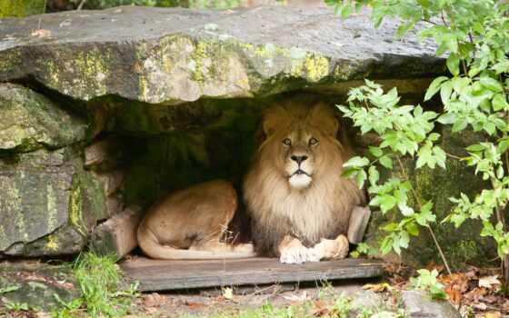 para, página, большие, кошки, животные, dob, gratis, desktop, fondos, parede, escritorio, львы, lions, foto, lisusmlens, canonef, взгляд, mmf,