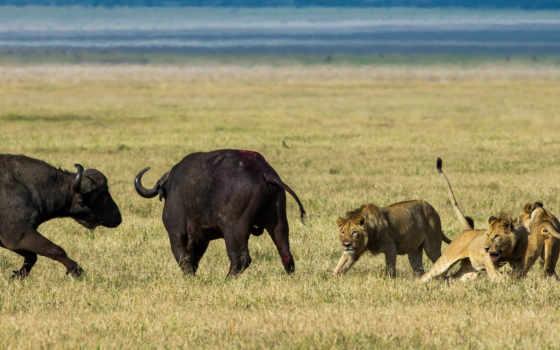 lions, hunting, буйволы