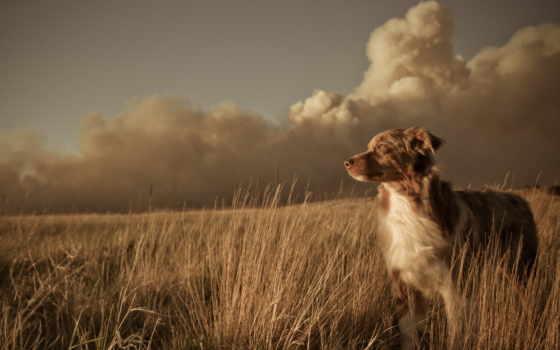 собака, поле, друг