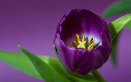 views, любите, цветы, purple, фон, тюльпан, influencer, тюльпаны,