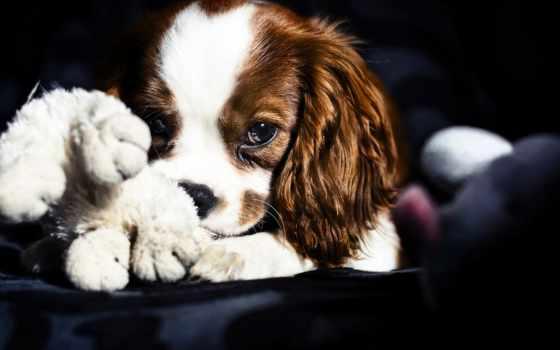 собака, toy, spaniel, грустный, собаки, everything, релевантность, минимализм,