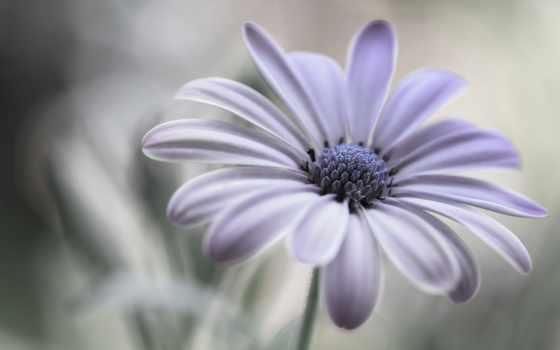 daisy, картинка, цветы, коллекция, ромашка, макро,