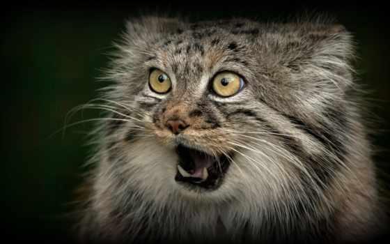 manut, кот, fang, пасть, морда, anium, animal, wild, jone