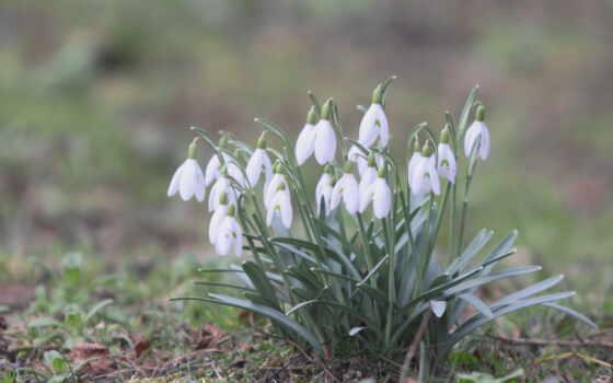 подснежники, цветы, весна