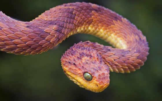 snakes, viper, world