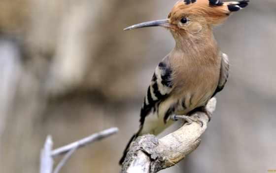 птица, удод, wiedehopf