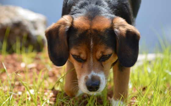 щенок, собака, adománygyűjtő, harrier, zhivotnye, mocah, собаки,