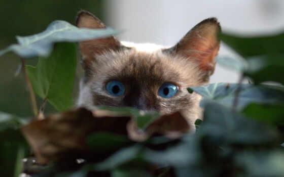 кот, burmese, котенок, game, arthritis, порода, научиться, have