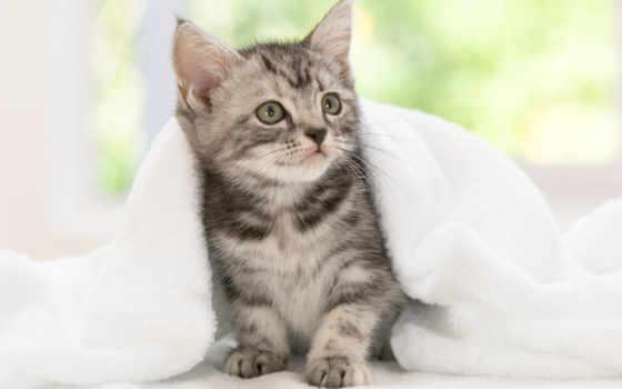 кот, американский, shorthair, американская,