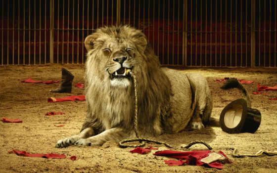 lion, биг, веревка