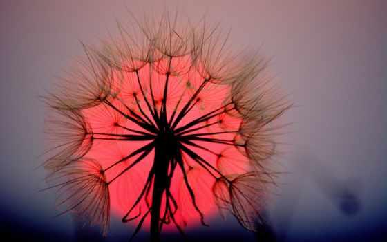 одуванчик, макро, фотообои, закат, красивые, цветы, sun,