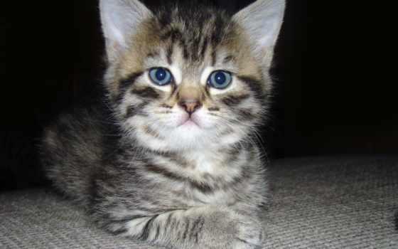 кот, котенок, серый, пушистый, striped, морда, свет, взгляд, cats, panties,