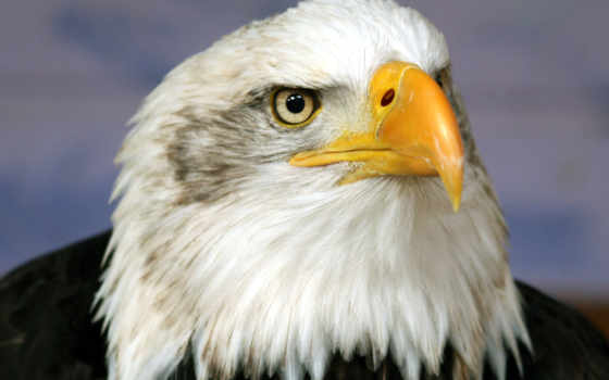 гордый, орел, желтый, клюв, белые, перья, глаза, взгляд, дикая, голова,
