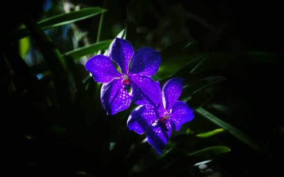 цветы, фиолетовый, орхидеи