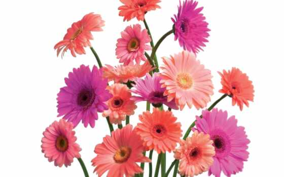 gerbera, daisy, you