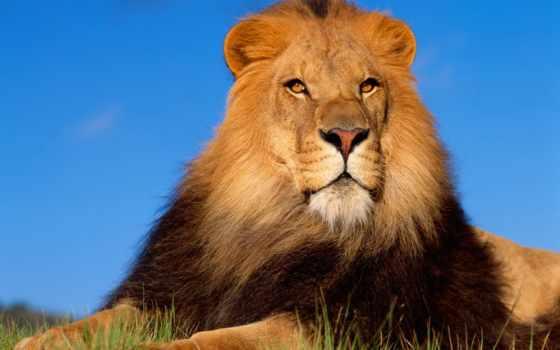 lion, львы, зевающий