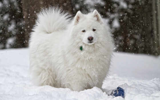 собака, white, samoedskii, samoyed, снег, порода, shaggy, сова, хаски, уход