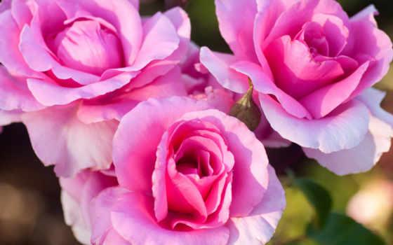 розы, трио