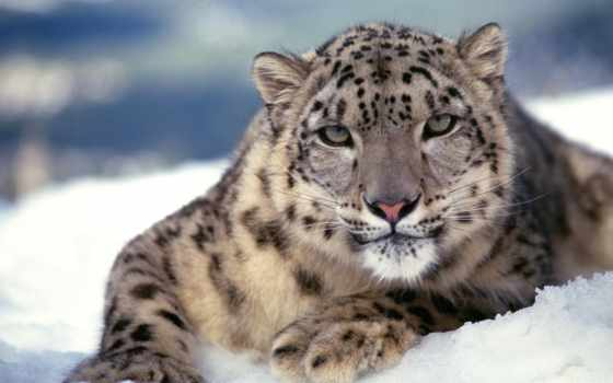 snow, leopard, кошка, хищник, www, zhivotnye, картинка, gdefon, kartinka, wildlife, zveri, download, high, oboi, you,