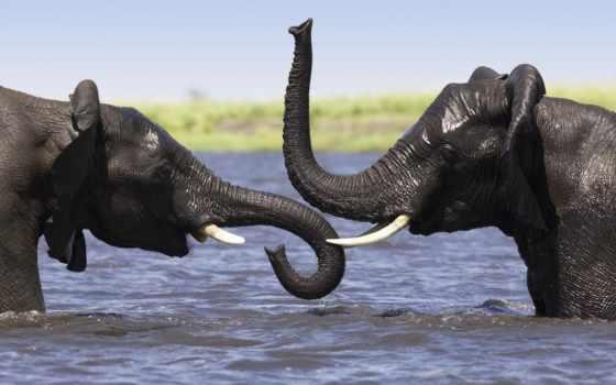 слоны, слон, воде