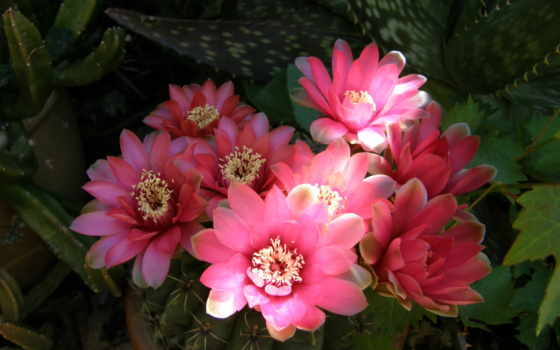 red, кактусы, цветы