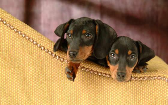 плата, dachshund, щенки