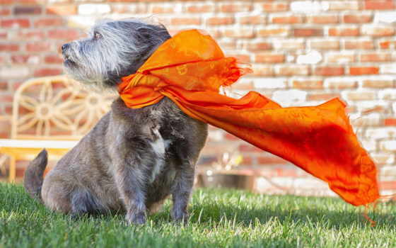 шарф, собака, ветер, фото, getty, stock, images, blowing, resolution, desktop,
