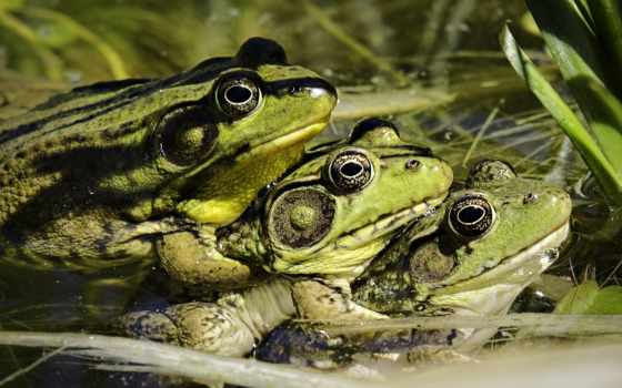 лягушки, zhivotnye, grenouille, зелёная, планом, крупным, plan, ящер, sur, лягушка,