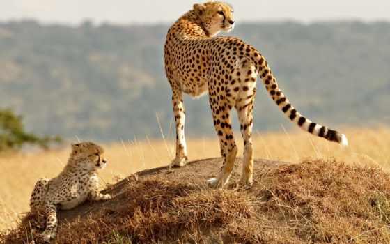 wild, animals, zhivotnye, кошки, puma, молодой, большие, гепарды, дикие,