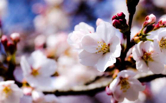 cvety, яблони, весна, google, яблоня,