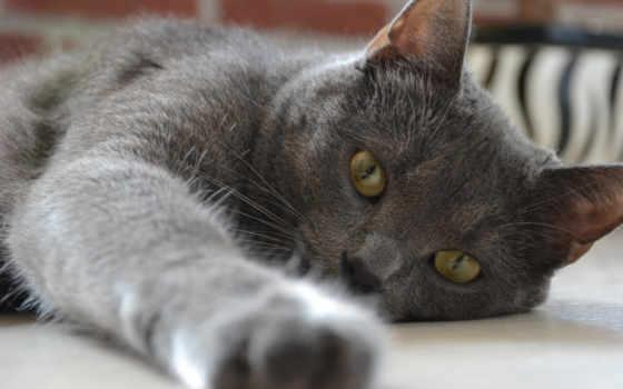 британских, кошек, коты