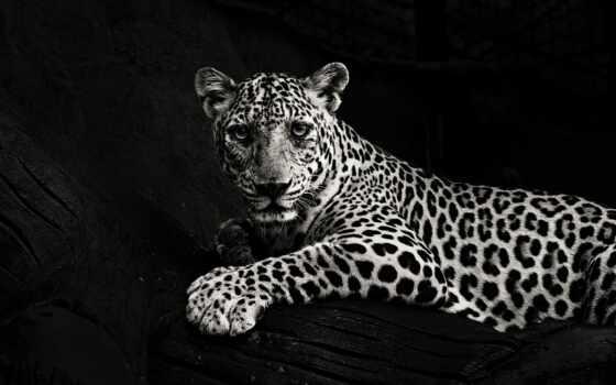 youtube, шапка, канал, тигр, jaguar, permission, left, биг, кот, леопард, черная