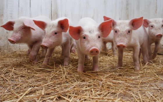 свинья, дек, свиньи