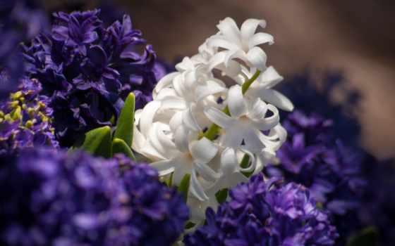 гиацинтовый, цветы, desktop