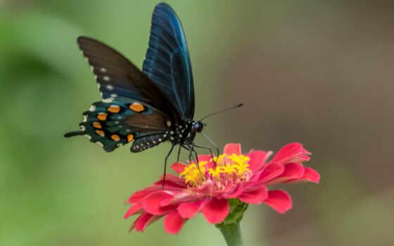 цветы, бабочка, природа, крылья, макро, nasekomyi