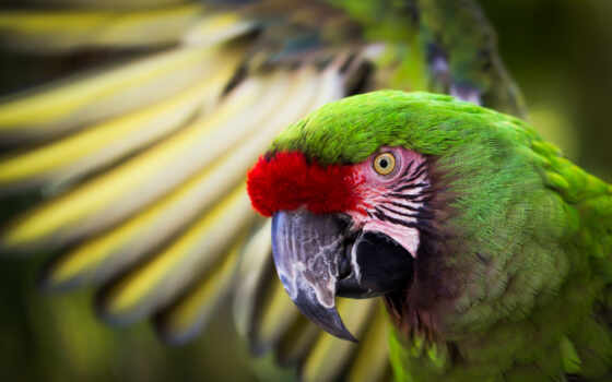 macaw, зелёный, great, птица, palpite, взгляд, krylo, попугай, youtube, птица, комментарий