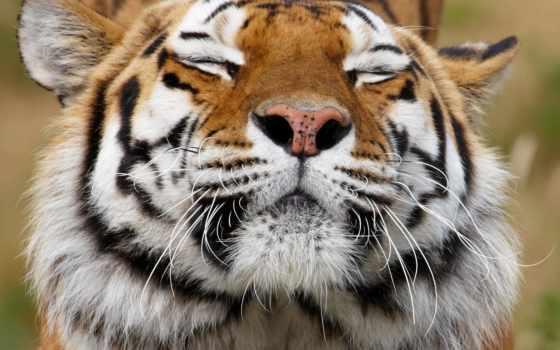 морда, тигр, хищник Фон № 59465 разрешение 2560x1600