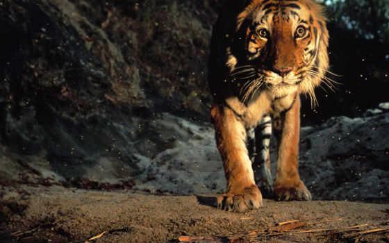 тигр, пещера, искры