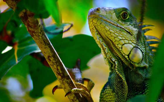 iguana, ipad, branch