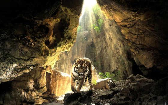 тигр, пещере, тигра