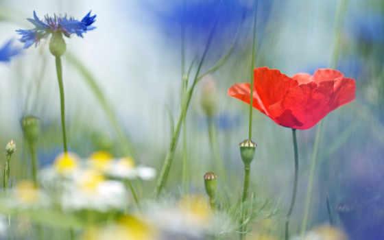 макро, цветы, ромашки, полевые, васильки, поле, poppy,
