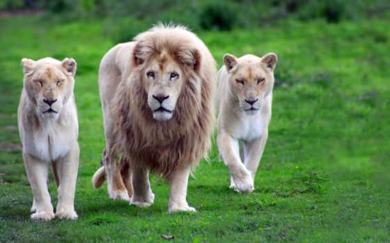 parede, papel, leões, animais, papéis, pin, animal, leão, família,