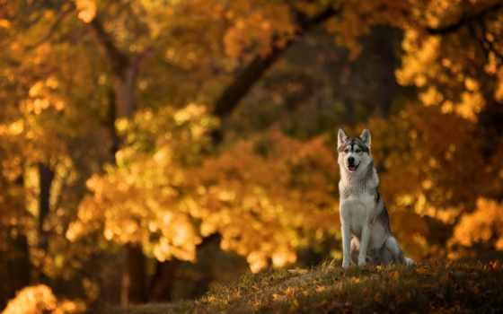хаски, собака, собаки, осень, яndex, листва, щенок, морда, январь,