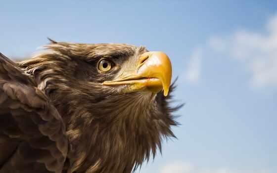орлан, птица, tawny, await, картинка, command, toucanet